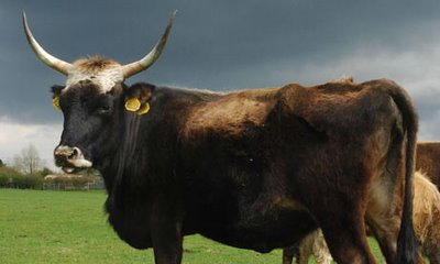UK: Nazi 'Super Cows' Shipped to Devon Farm