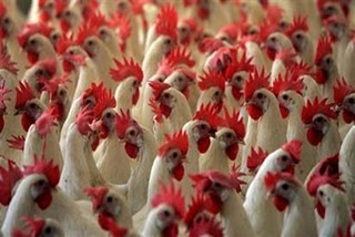 Why a Widespread Bird Flu Contagion is a HOAX and for the Birds and will NEVER Be a Lethal Epidemic